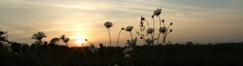 Marguerites en contre jour au coucher de soleil
